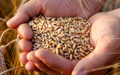A vingança do glúten: como o trigo domesticou o humano